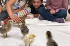 methodist elc - chicks